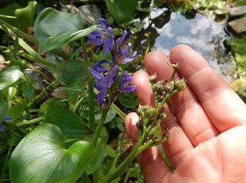 DSCN3802 ミズアオイの花と.jpg