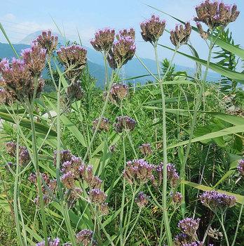 DSCN6437 堤防の紫色の花.jpg