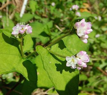 DSCN9938 ミゾソバの花.jpg