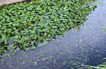 DSC_0402 水面と水中の葉.jpg