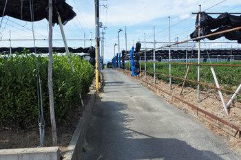 DSC_6988 南岸の茶畑.jpg