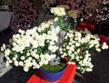 DSC_7438 菊花.jpg