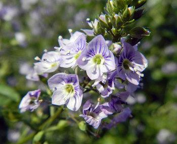 オオカワヂシャの花.jpg
