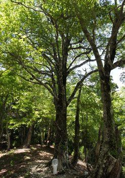 ブナ巨木.jpg