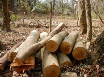伐採された木.jpg