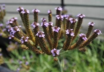 土手の紫色の花.jpg