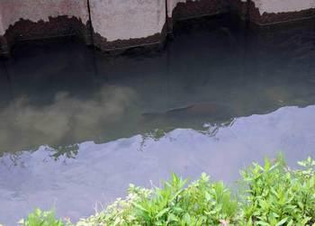 大鯉.jpg