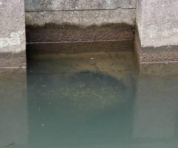 排水管に集まるメダカ.jpg