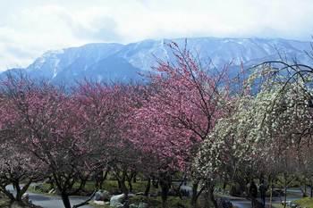 梅と藤原岳 - コピー.jpg
