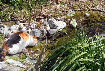 水を飲む猫.jpg