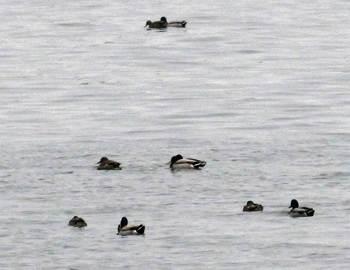 涸沼の鴨.jpg