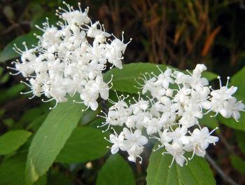 白い五弁の花.jpg