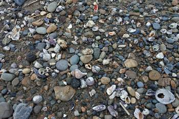 貝が散らばっている地点.jpg
