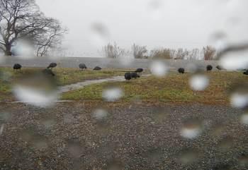 車窓から眺めるオオバンの群.jpg