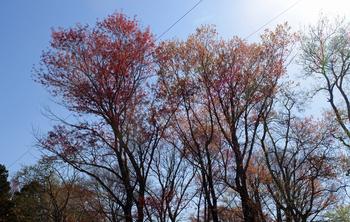 NMS_8396 坂本のハナノキ.jpg